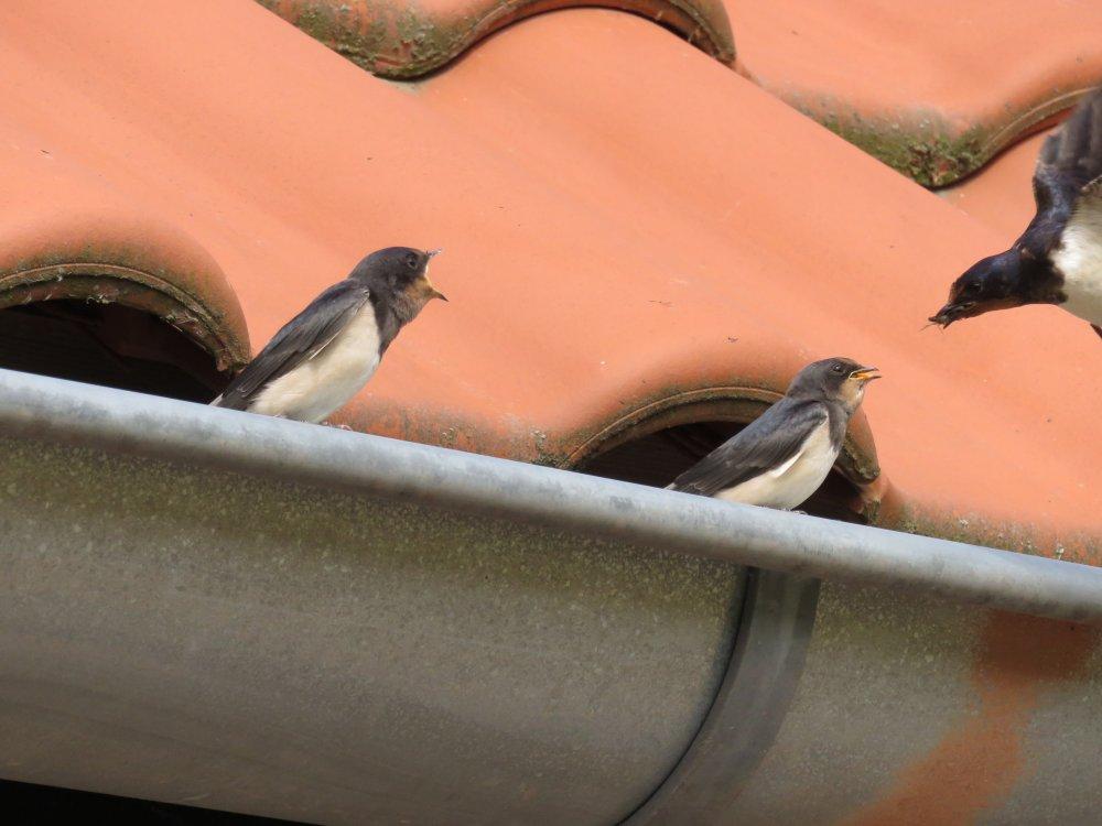 de jonge zwaluwen worden gevoerd
